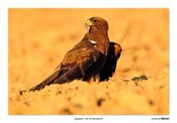 08-Booted eagle