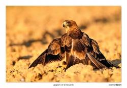 09-Booted eagle