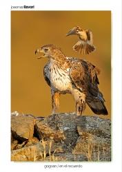 11-Bonelli´s eagle and Woodchat shrike