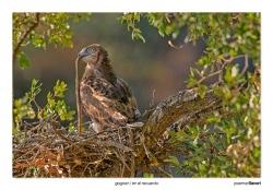 13-Short-toed eagle