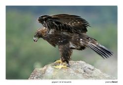 03-Golden eagle