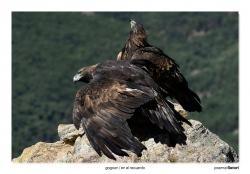 04-Golden eagle