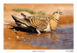 04-Pin-tailed sandgrouse
