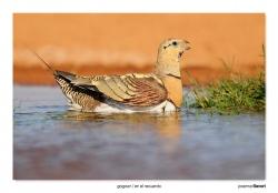 05-Pin-tailed sandgrouse