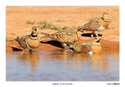 03-Pin-tailed sandgrouse