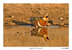 10-Pin-tailed sandgrouse