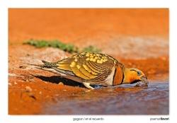 14-Pin-tailed sandgrouse