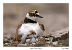 01-Little ringed plover