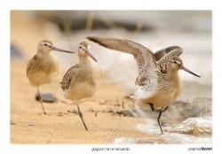 03-Bartailed godwit