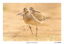 07-Bartailed godwit