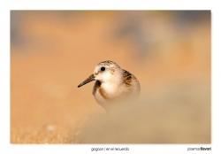 09-Sanderling