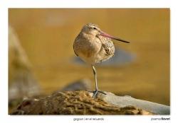 15-Bartailed godwit