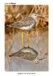 19- Lesser yellow legs