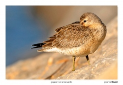 14-Red knot