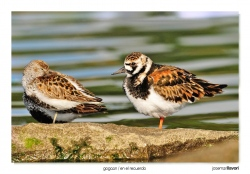 23-Dunlin and Turnstone