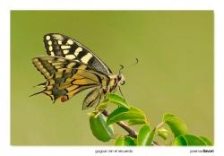 02-Papilio machaon