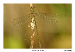 05-Chalcolestes viridis