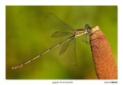 04-Chalcolestes viridis
