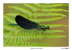 07-Calopteryx virgo (macho)
