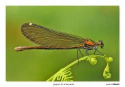 08-Calopteryx virgo (hembra)