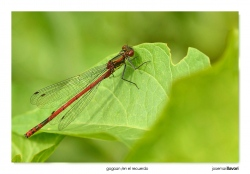 09-Pyrrhosoma nymphula