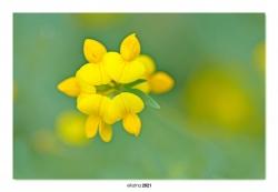 03-Lotus hispidus.