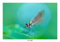 07-Calopteryx virgo (hembra)