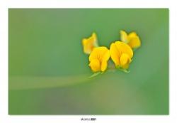04-Genista occidentalis.
