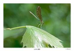 06-Calopteryx virgo (eme)