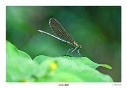07-Calopteryx virgo (eme)
