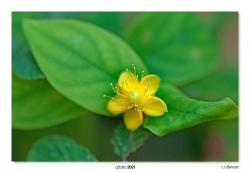 03-Hypericum androsaemum.