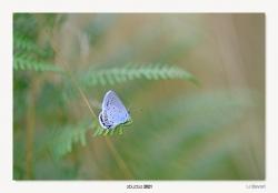 15-Polyommatus icarus