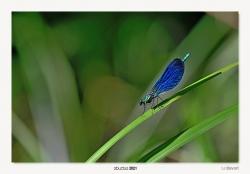 14-Calopteryx virgo (arra)