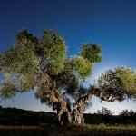 L'olivera de la Solana