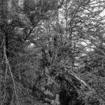 Els Teixos de Fonollosa. Vallibona