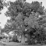 La Travina del Mas de Colau. Vilafranca.
