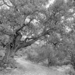 La Carrasca del Mas de Miquel. Vallibona