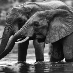 Un atardecer en la sabana sudafricana una manada de elefantes sedientos nos brindaron la oportunidad de tenerlos tan cerca para poder admirarlos.