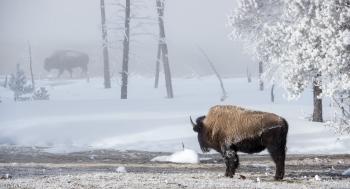 Bisontes en la niebla - Juan Abal