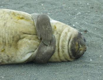 Elephant seal - Salisbury Plain - Juan Abal