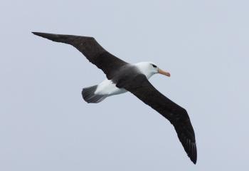 Black-browed albatross - Scotia Sea - Yolanda Moreno