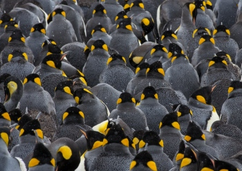 King penguins - Salisbury Plain - Yolanda Moreno