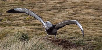 Young wandering albatross - Prion island - Juan Abal