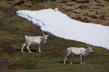 Reindeers - Fortuna bay - Juan Abal