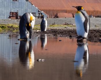 King penguins - Stromness harbour - Juan Abal