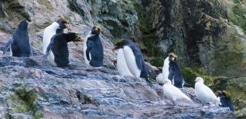 Macaroni penguins - Hercules bay - Yolanda Moreno