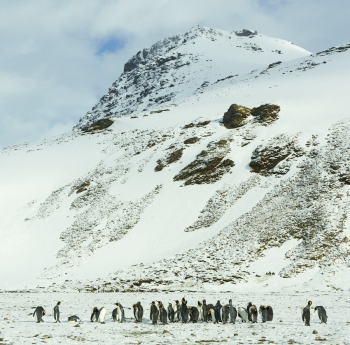 King penguins - Salisbury Plain - Juan abal