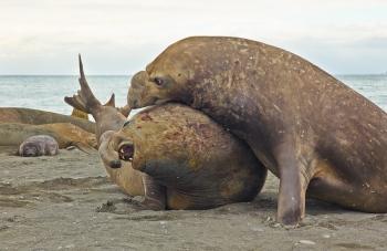 Elephant seals - Salisbury Plain - Juan Abal