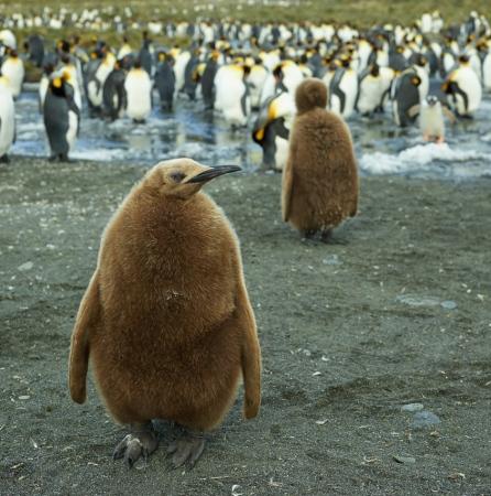 Young king penguin - Salisbury Plain - Juan Abal
