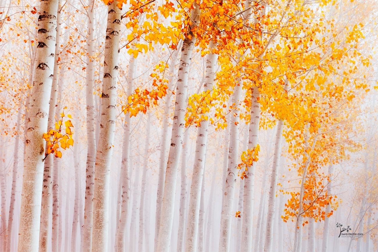 Golden Leaves Awaiting for the Fall - Color - David Frutos Egea | Fotógrafías en color